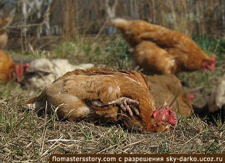 релаксирующая курица