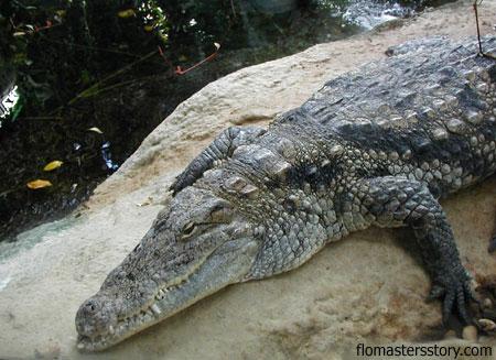 фото крокодила