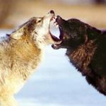 с волками жить - по-вольчи выть