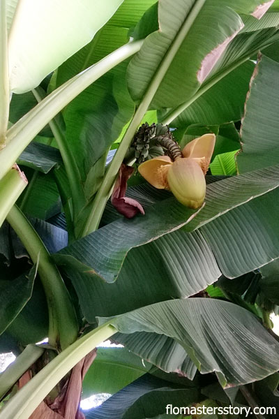 банановая пальма