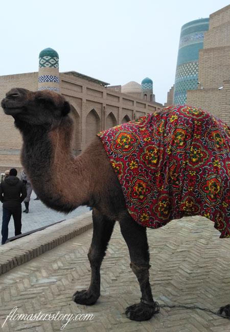 верблюд Хива