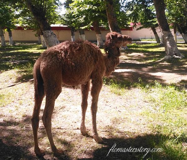 верблюжонок фото