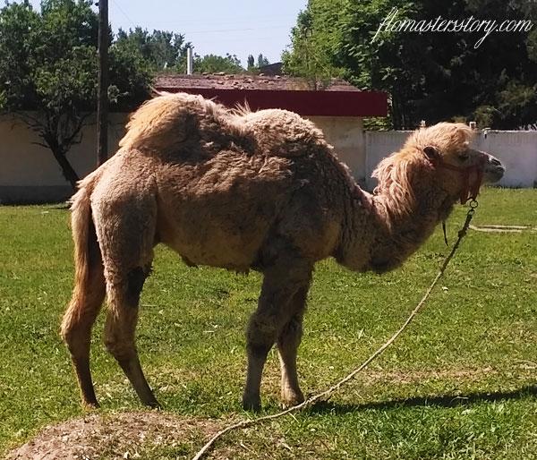 верблюд фото