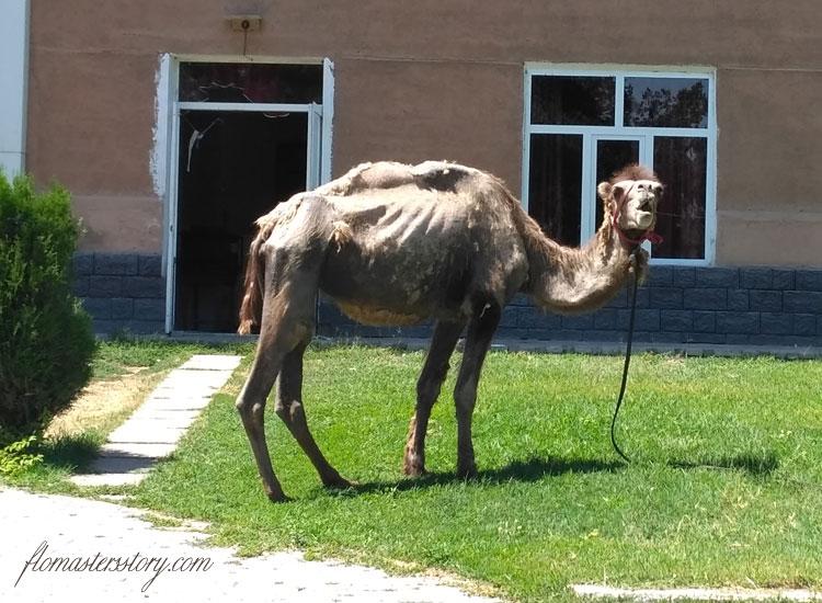 удивленный верблюд
