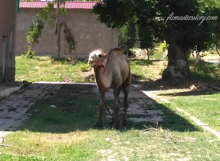 веселый верблюд