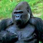 горилла, самая крупная обезьяна на Земле