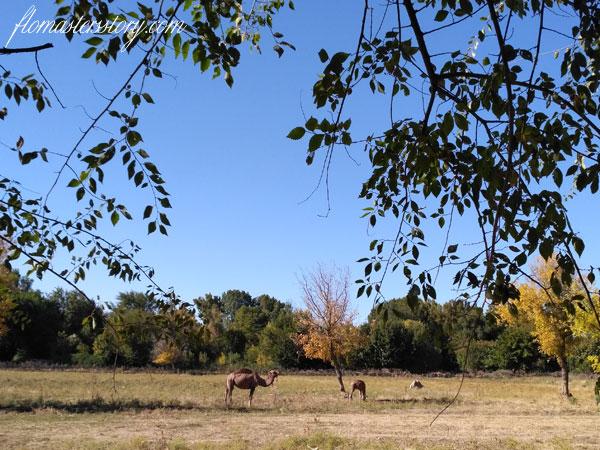 верблюды фото