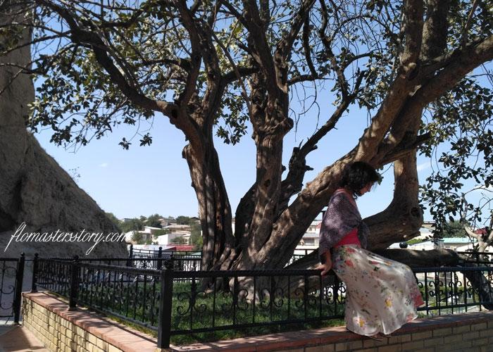 древнее дерево Самарканд